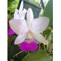 Orquídea Catlleya Walkeriana. Semi Alba - Tokio X Poenani