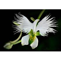 10 Sementes Orquídea Garça Branca Flor Rosa Planta Bonsai