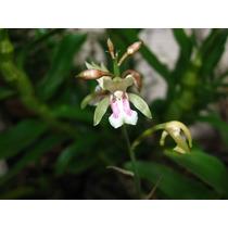 Mudas De Oeceoclades Maculata - Orquídea Terrestre