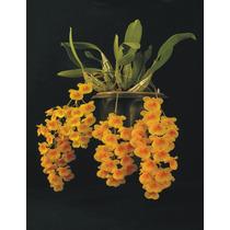 Orquidea Dendrobium Agregatum