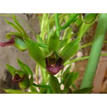 Cápsula De Sementes De Eulophia Longifolia (eulophia Alta)