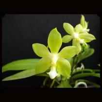 Orquídea, Phalaenopsis Verde Com Flores, Facil Cultivo!
