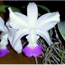 Orquídea Cattleya Walkeriana Semi Alba