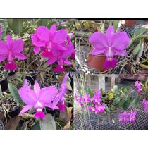 Orquídeas Cattleya Walkeriana Tipo - (10 Cortes Variados)