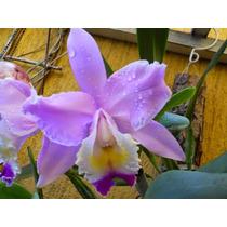 Cattleya Kiomassa, Muda De Orquídea, Orquidea, Planta