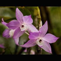 Orquídea Adulta, Dendrobium Rara, Facil Cultivo, Lindíssima