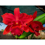 A Famosa Orquídea Vermelha - Blc Red Intense!!