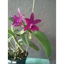 Mudas De Orquideas Cattleias Varias Cores