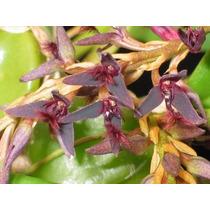 C Orquídea Bulbophyllum Tremulum Adulta