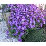 Bonsai 20 Sementes Violeta Rainha Africana