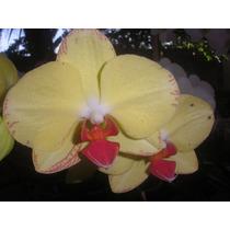 Orquidea Phalaenopsis 5 Plantas Por R$ 65,99.