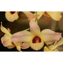 Mudas De Dendrobium Moschatum