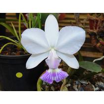 Orquidea Cattleya Walkeriana Coerulia Serrinha