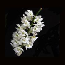 Muda De Orquídea Rhynchostylis Multiflora Flor Branca Linda