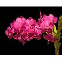 Orquídea Vanda Vermelha
