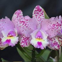 Orquídea Cattleya Espécie Cruzeiro Do Sul (mudas)