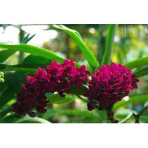 C Orquídea Rhv. Sri Siam X Rhy. Gigantea Red, Já Floresce