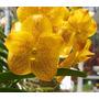 C Orquídea Vanda Boris ´kriengkrai Yellow´ Já Floresce