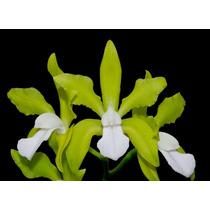 Orquidea Cattleya Bicolor Alba