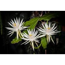 Mudas De Epiphyllum Phyllanthus, Flor De Baile, Pitainha