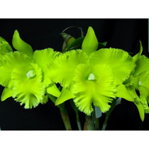 Orquídea Blc. Ports Of Paradise (mudas)