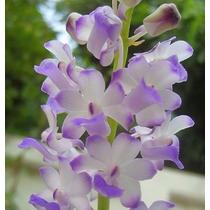 Orquídeas 5 Sementes - Rhynchostylis + Frete Grátis