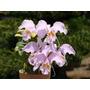 Cattleya Mossiae Concolor