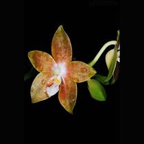 Muda De Orquídea Phalaenopsis Multifloral Cor Especial
