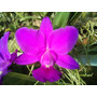 Cattleya Walkeriana Rubra Itacolomi - Po