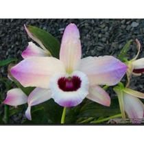 Mudas De Orquídea Dendrobrium Olho De Boneca - Planta Adulta