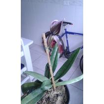 Orquídea Paphiopedilum Hibrido