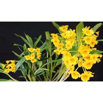C Orquídea Dendrobium Chrysotoxum 6cm