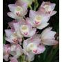 Mudas De Orquídea Cymbidium Cor Branca