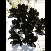 Orquídea Negra, Fredclarkeara, Preta, Multiflora, Espécial,