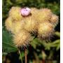 100 Sementes De Urucum (ou Colorau) Amarelo