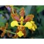 Orquídea Oncidium Baueri