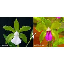 Orquidea Cattleya Bicolor Alba X Cattleya Bicolor Semi-alba