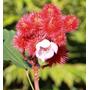 100 Sementes De Urucum (ou Colorau) Vermelho