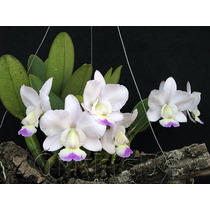Orquidea Cattleya Semi-alba Kenny Adulta