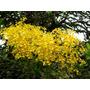 Muda De Oncidium Flexuosum - Chuva De Ouro - Orquidea