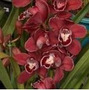 Mudas De Orquídea Cymbidium Cor Vermelho