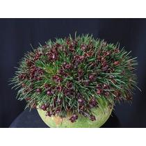Micro Orquídea Negra Christensonella Juergensii