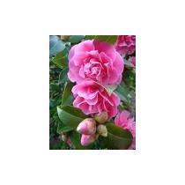 Muda De Camélia Cor Rosa Linda E Resistente Ideal P/ Jardim.