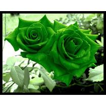 10 Sementes De Rosa Verde + Frete Gratis