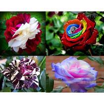 24 Sementes Rosas Raras Exóticas Kit 4 Cores + Frete Grátis