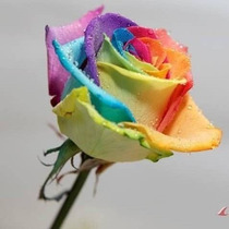 Rosa Exótica Arco-íris + Frete Grátis 10 Sementes