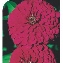 5 Sementes Da Flor Zinnia Gigante Da California Rosa