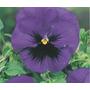 5 Sementes Da Linda Flor Amor Perfeito Gigante Suíço Violeta