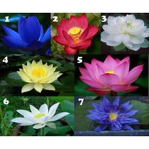 7 Sementes Flor De Lotus - 1 De Cada Cor + Frete Grátis