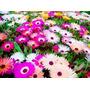 1000 Sementes Da Flor Tapete Mágico - Ficoide Vaso Jardim